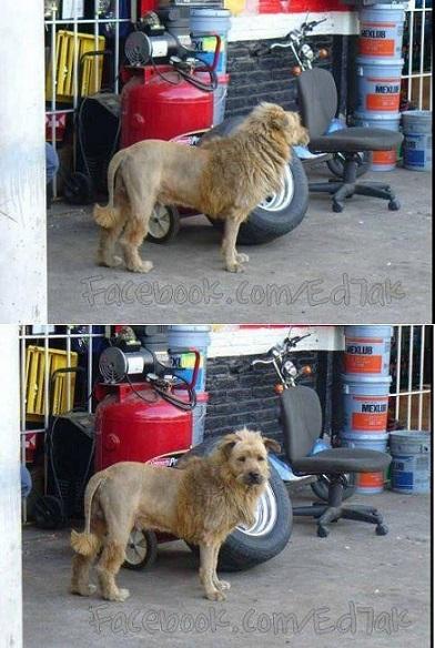 chien lion44