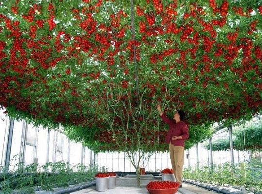 tomatea